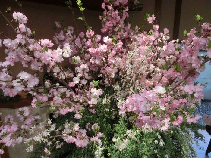 花月でお花見、満開となりました。