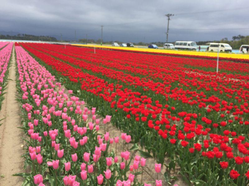 新潟県の県花チューリップを飾りました。